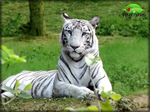 White Tigress... | Queen under captivity... | Vnayak Somany | Flickr