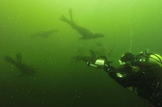 Diving with sea lions in Peru with Nature Expeditions (4) | by stefanaustermuhle
