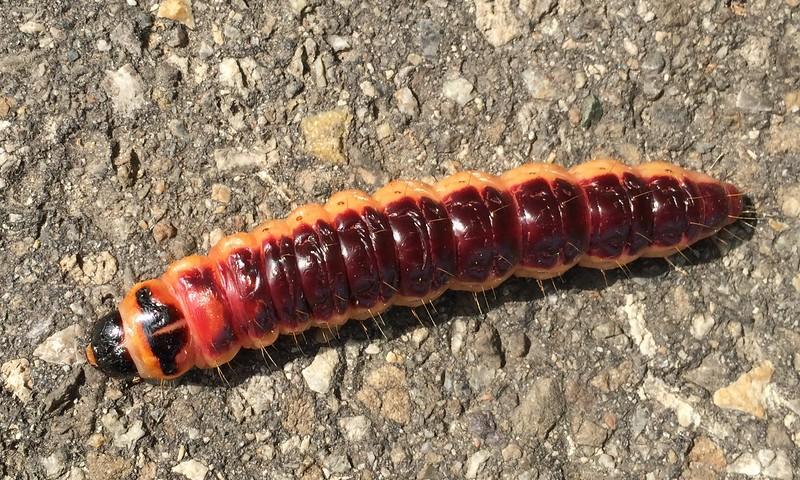 Marcel - goat moth caterpillar