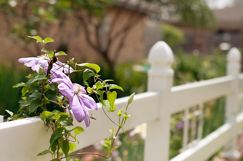HFF:  The Clematis edition... | by Barbara Taeger Photography
