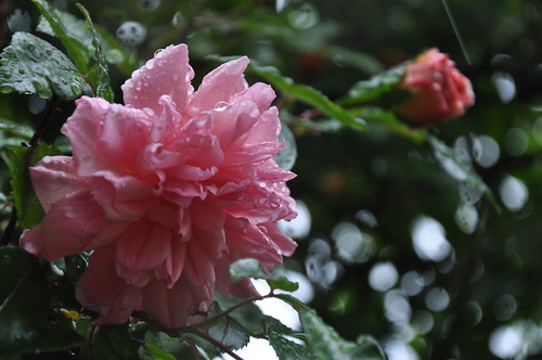 Pink rose in the rain at Rosentorget 10 | by cwasteson