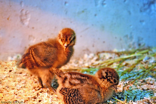 A Couple of New Chicks | by Annette LeDuff