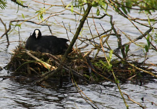 Coot on her nest | by Middle Ford Miss