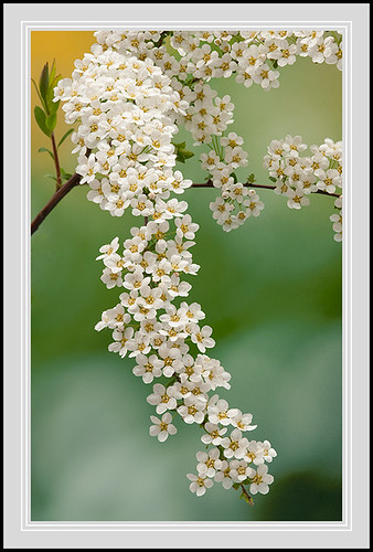 Spiraea | by thenikonkid