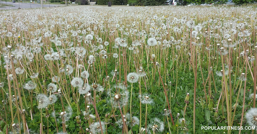 Field of Dandelions Gone to Seed | by Peter Kudlacz