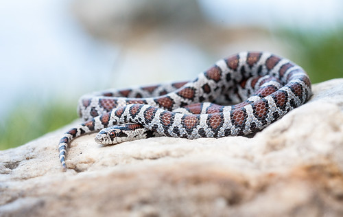 Eastern Milk Snake (Lampropeltis triangulum triangulum) | by NickBarrientos