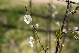 Fruit Tree Blossoming Flowers | by goingslowly