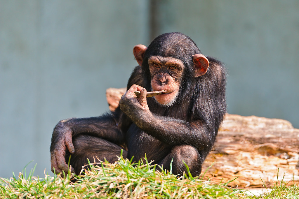 young chimp with stick in the mough a young chimp this ti flickr