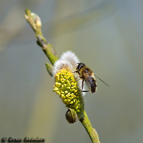 Hoverfly on a willow | by Bram Reinders(on-off)
