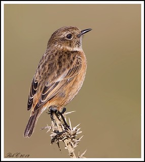 Stonechat | by robcimages.co.uk