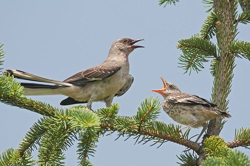 Northern Mockingbird with chick | by jeffloomis1