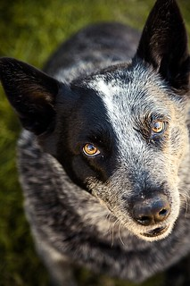 Blue Heeler | by Benicio Murray