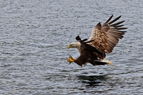 Eagle Sea Mull July 2012 (15) | by Margaret the Novice