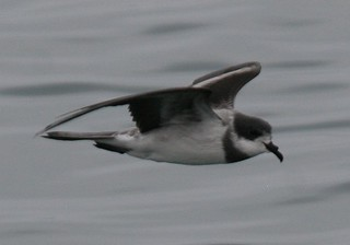 Ringed (Hornby's)storm petrel Pelagic birding with Nature Expeditions in Peru | by stefanaustermuhle
