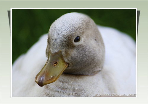 Cute Duck | by Fred255 Photography