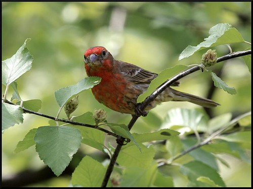 House Finch on River Birch | by ARKNTINA