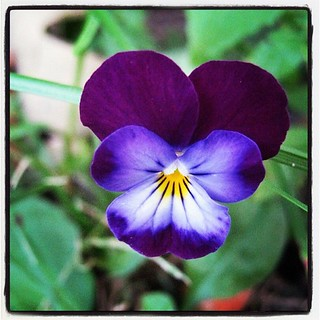 A gorgeous little violet on my lawn. | by rosewithoutathorn84