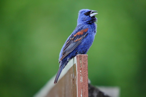 Singing Blue Grosbeak | by Mellon 99