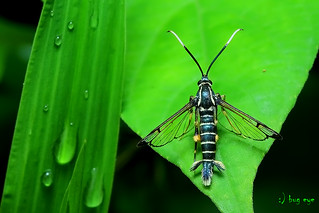 Clearwing Moths / Sesiidae / มอธปีกใส | by bug eye :) Thailand