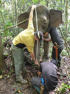 elephant-research-hutan | by lucycookie