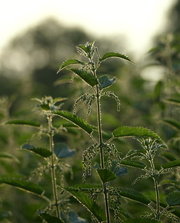 Nettle light | by SteveJM2009