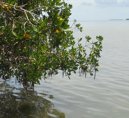 mangrove with torpedo seeds
