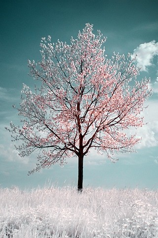 cherry blossom tree | by fengshui0