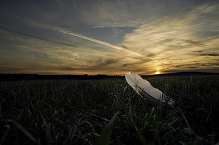 Goose feather | by attila96