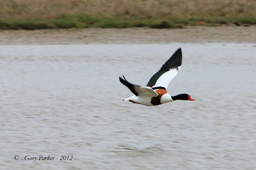 Shelduck | by Gary Parker2012