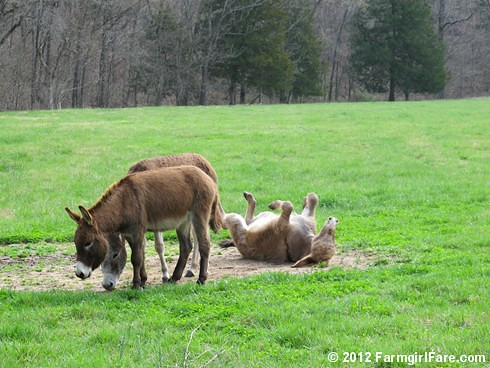 Let's roll donkeys 3 | by Farmgirl Susan