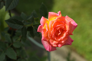Scented Mini Rose 'Hot Tamale' | by Meighan