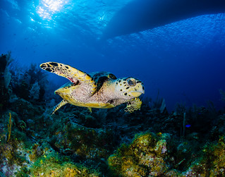 turtle at Little Cayman | by tomeyer