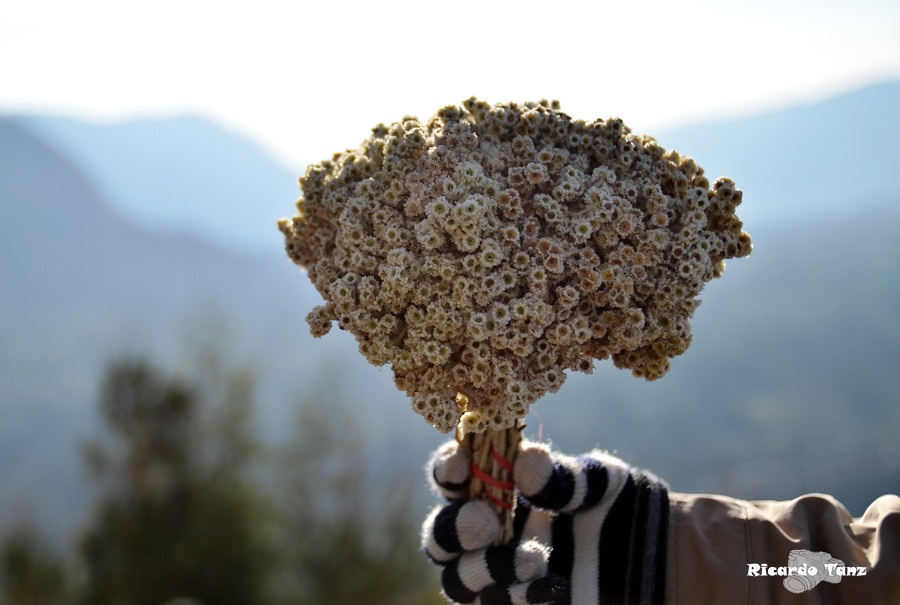 edelweiss flower meaning  flower, Natural flower