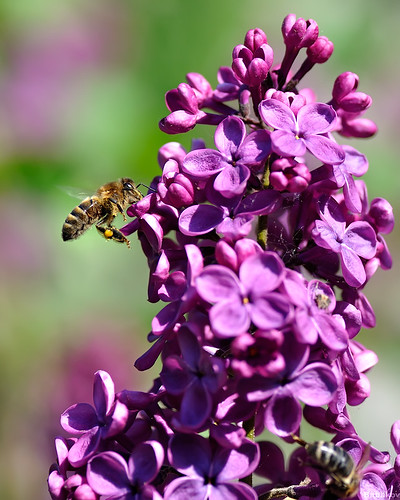 Lilacs and a bee | by Michael Babakov