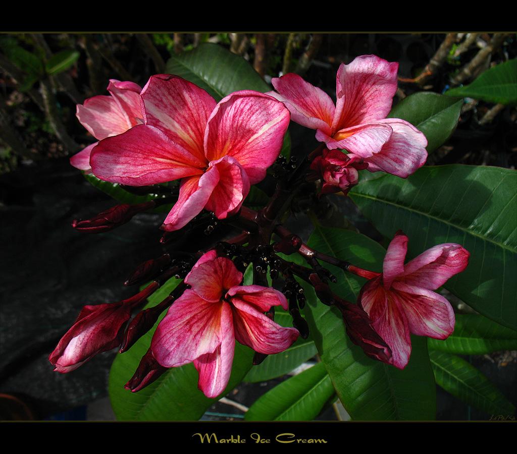 Rare Flowers The Plumeria Marble Ice Cream Due To Multip Flickr