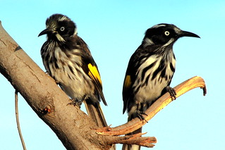 New Holland Honeyeater | by Uhlenhorst