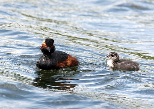 Black necked Grebe with young | by Dean Eades BirdMad Wildlife Photography