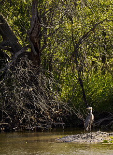 Heron Watch | by giantmike