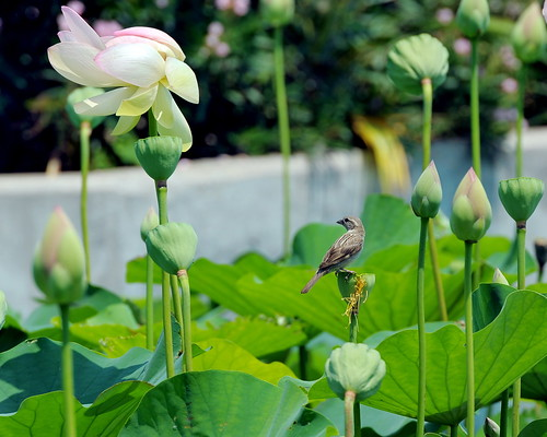 Lotus Study #3: I'm a bird, not a lotus !!! | by Liêm Phó Nhòm