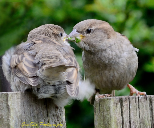 Sparrows Feeding 2 | by GemElle Photography - off & on sorry