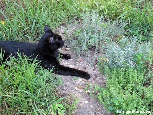 (21-3) Mr. Midnight relaxes by the lavender and thyme in the kitchen garden | by Farmgirl Susan