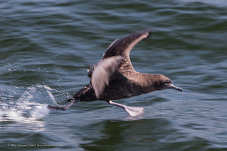 Sooty Shearwater bird Puffinus griseus taking off from the water | by mikebaird