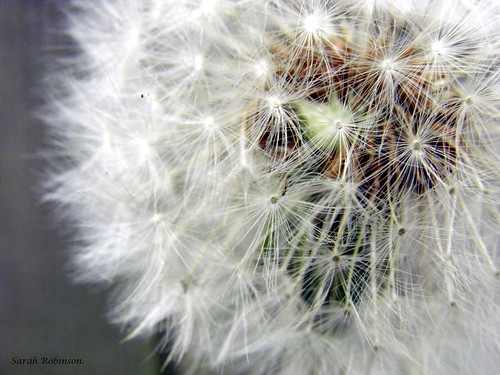 dandelion seed head! | by Sarah Robinson Images.