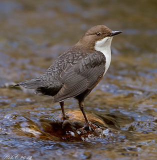 Dipper | by robcimages.co.uk