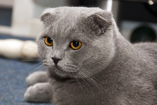 Scottish Fold | by firstbird