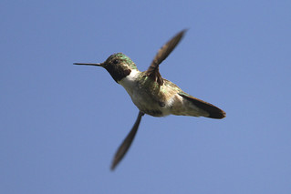 Hovering broad-tailed hummingbird | by dcstep