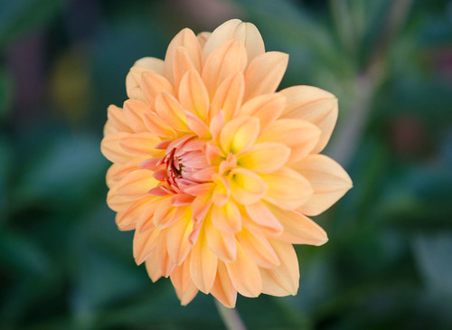 Soft tones in a dahlia | by Pensive glance