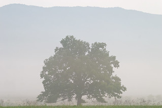 Tree in Fog - Cades Cove | by Photomatt28