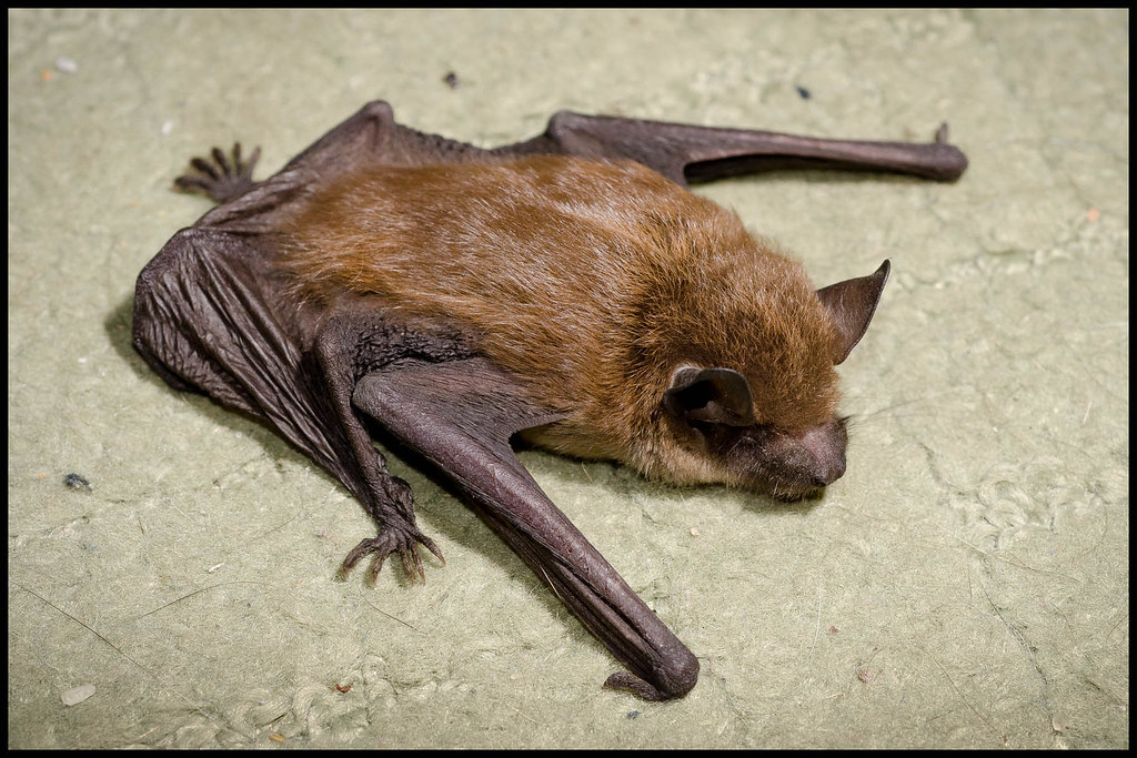 America's Most Common Bat Headed for Eastern Extinction | WIRED