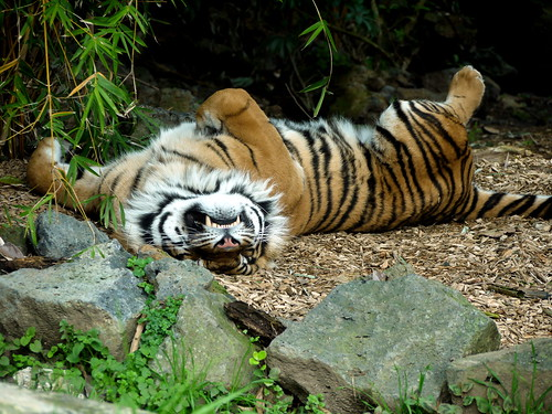 Sleepy Tiger @ Auckland Zoo | by Yortw